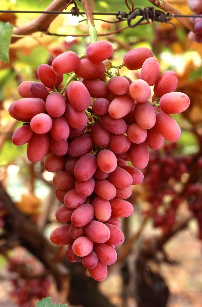 Grapes05