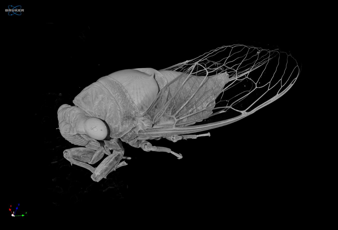 Micro Ct For Insect Inspection Cicada Analysis Of Its
