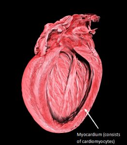 Micro-CT image of a Mouse Heart