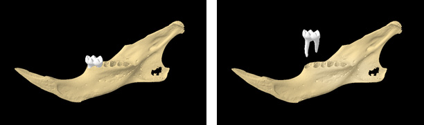 Figure 1 Mouse Mandible