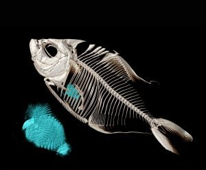Micro-CT scan of a piranha fish