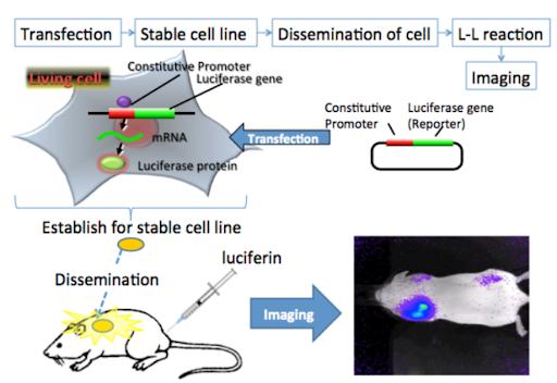 Bioluminenscence imaging